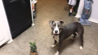 Pitt Bull Is No Longer Terrified Of Pineapple