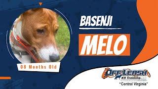 8 M/O Basenji (Melo)   Best Dog Trainers In Fredericksburg