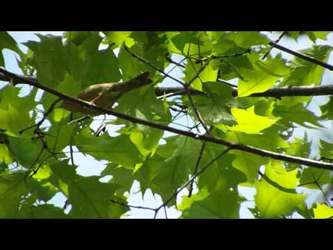 Worm-eating Warbler singing and foraging
