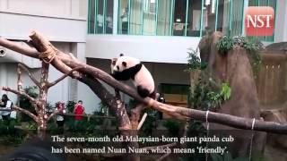 Malaysia says hello to Nuan Nuan, our 'home made' giant panda cub