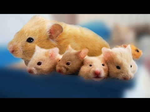 Hamster Babies and Hamster Mother - Day 1 to Day 30 Best Moments