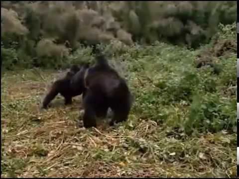 Animal Planet Discovery Channel Wildlife Gorilla