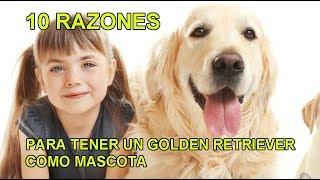 10 Razones para tener un Golden Retriever como Mascota Video