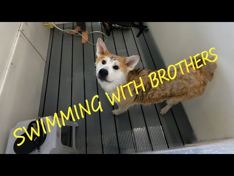 SWIMMING WITH BROTHERS (Akita inu)