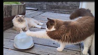 Ragdoll Cats Vs Ice Ball