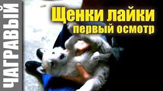 Щенки западно сибирской лайки | первый осмотр. Puppies of the West Siberian Laika, first inspection.