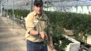 Wade Mann from Roses 2 Go Florists and A Dozen Roses The Rose Farm harvesting hydroponic roses