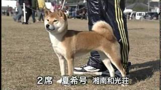平成22年度 107回 日本犬全国展覧会 柴犬の一部.