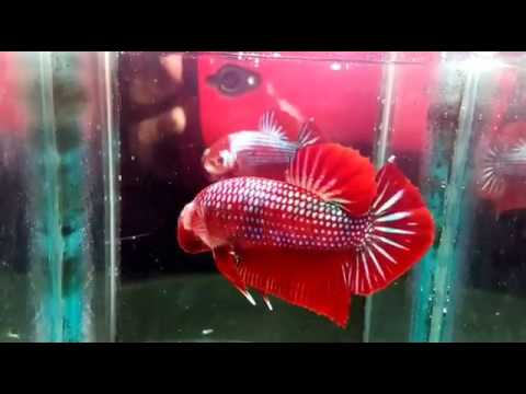 CUPANG GIANT RED (GIANT BETTA RED) - [ BODY ONLY 4 CM UP/3,5 MOUNTH ]