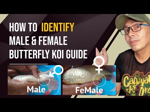 Butterfly Koi How to tell if a butterfly koi is male or female 🦋 2020 guide