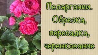 пеларгония житьёбытьё Пересадка пеларгонии плющелистной и розебудной после зимовки