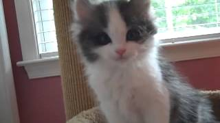 Kaerik RagaMuffin Kittens The Emerald Isle Litter 8 weeks old
