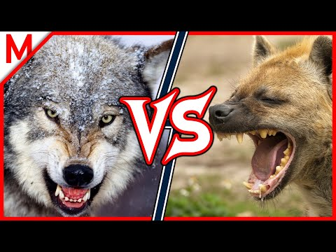 Grey Wolf vs Spotted Hyena | ANIMAL BATTLE  (+Grizzly vs Polar Bear winner)