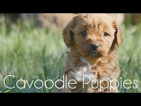 Toy Cavoodles in the grass!!!