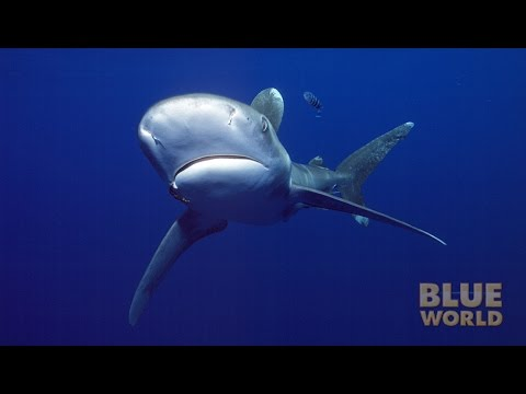 Oceanic Whitetip Sharks | JONATHAN BIRD'S BLUE WORLD