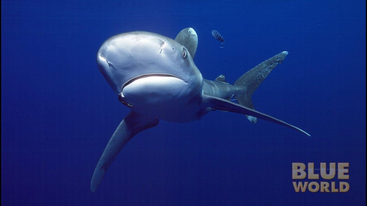 Oceanic Whitetip Sharks Jonathan Bird S Blue World Youtube