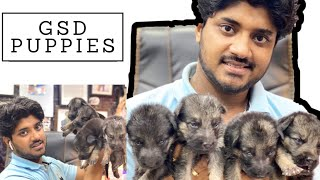 German Shepherd Puppies Available | Saurabh Dog Kennel | Contact - 9140752208, 9369347740