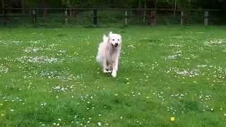 Dalmation X Pheobe,  Golden Retriever Albert & West Highland Pads  At A & B Dogs..