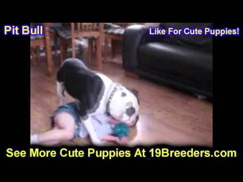 Pitbull, Puppies, For, Sale, In, Portland, Oregon, OR, McMinnville, Oregon City, Grants Pass, Keizer