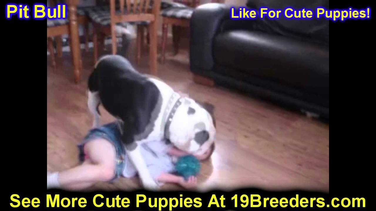 Pitbull Puppies For Sale In Portland Oregon Or Mcminnville