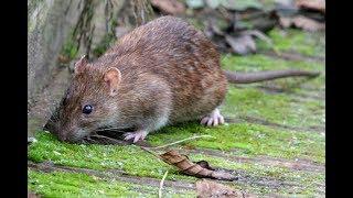Piège à rat 100%  efficace