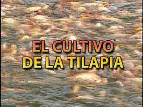 Cultivo de tilapia youtube for Construccion de estanques para tilapia