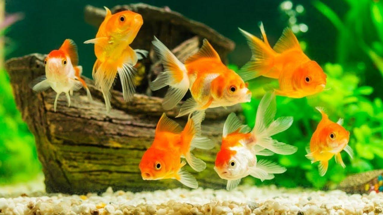Unduh 4400 Koleksi Gambar Ikan Mas Air Tawar Terpopuler