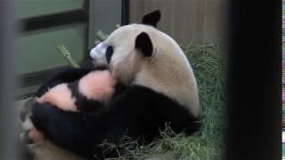 100日齢:産室に戻って子を抱く母親シンシン
