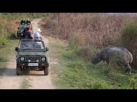 Safari Jeeps think twice before crossing large male Rhino in Kaziranga!!