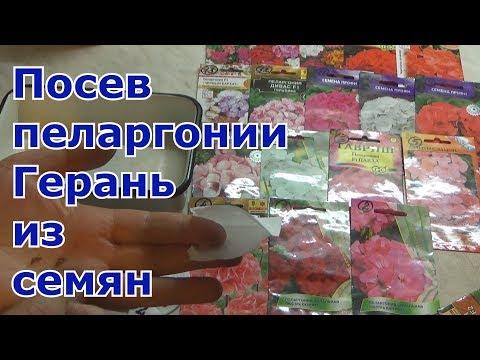 Когда и как сеять пеларгонию (герань) семенами