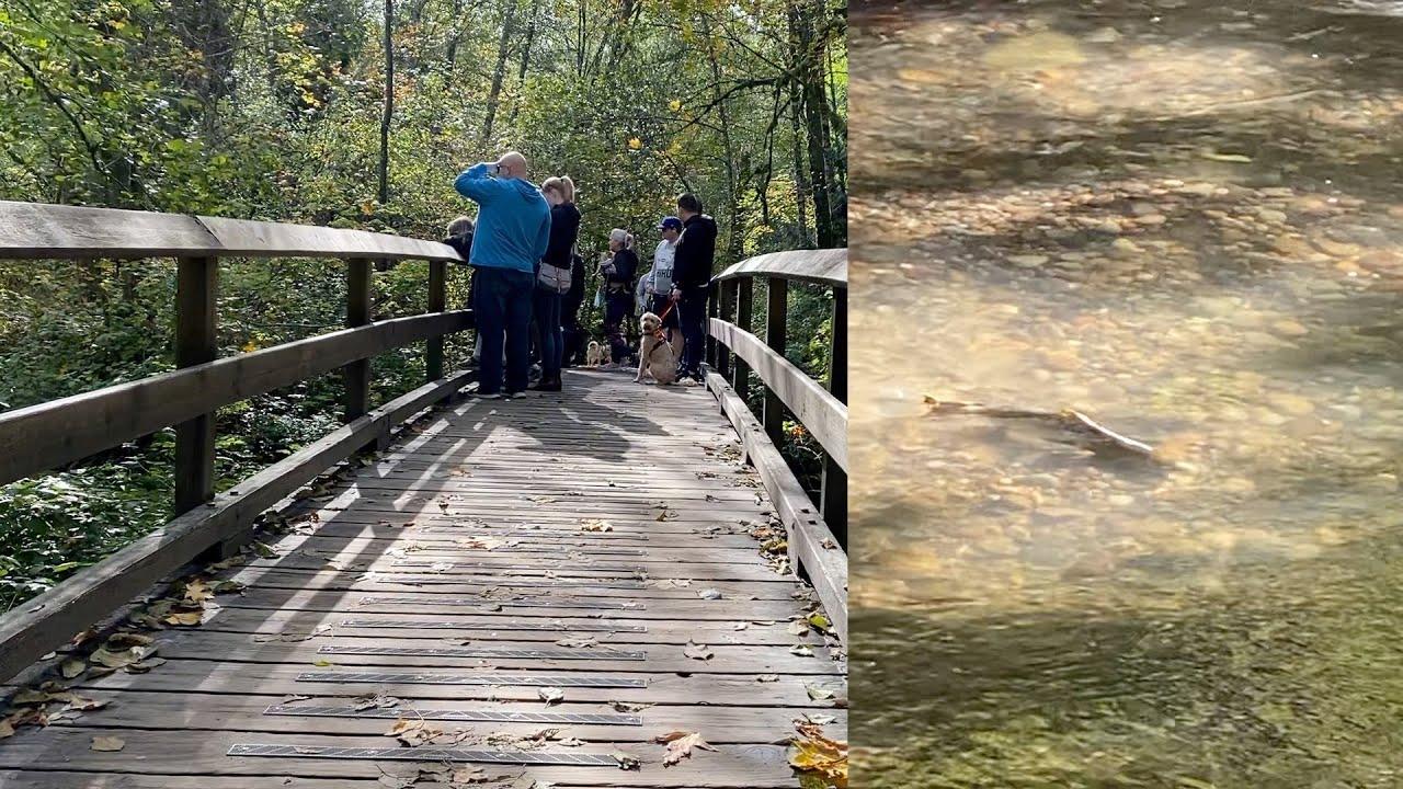 带皮皮去公园 看见桥上很多人 原来是有三文鱼回流了【Garden Time 田园生活分享】2021 10
