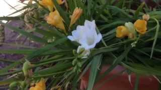 Freesia Flowers - How to Grow and Multiply!