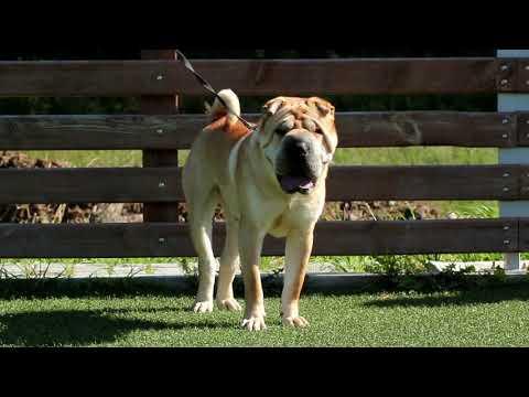 Shar Pei - Dog Breed Information