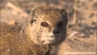 Yellow Mongoose vs Meerkat. Part 2/2