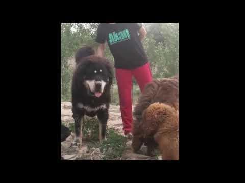 """tibetan-mastiff""-the-royal-guards-of-the-goat-farm.the-working-line-huge-mastiffs"
