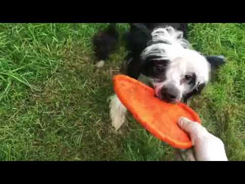 chinese crested dog 025