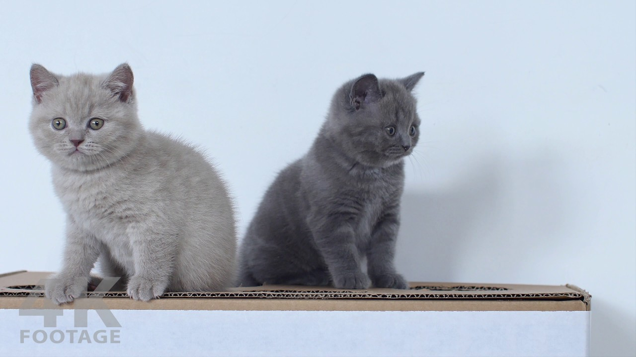 British Shorthair Lilac and Gray kittens 8 weeks 4K