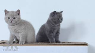 British Shorthair Lilac and Gray kittens  8 weeks, 4K