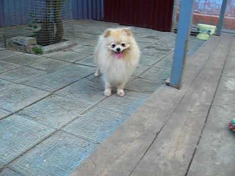 FOR SALE klein spitz male Egbert Magic Cream Dream Iz Knyaginino, age 17 m