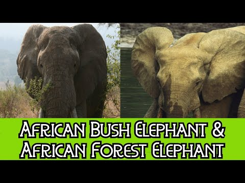 African Bush Elephant & African Forest Elephant - The Differences