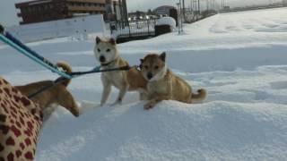 山陰柴犬リン、もみじ、さくらが積雪50センチの中を散歩します。