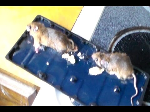 How to get rid of Mice in your house Quickly The Best and Easy way