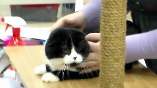 Шотландский Вислоухий Красавец, Скоттиш Фолд, Породы Кошек