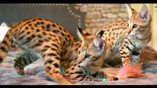 Savannah Kittens for Sale!