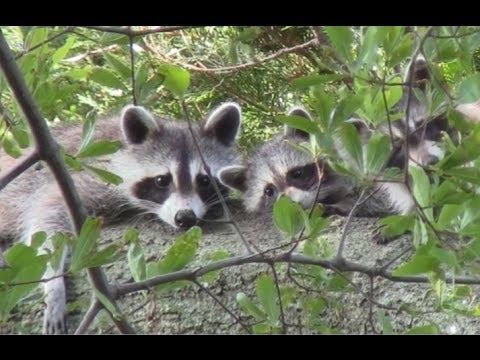 Raccoon Family In My Backyard