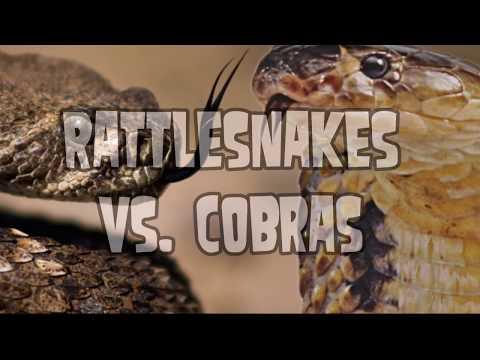 Cobra vs Rattlesnake!