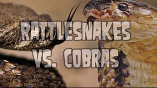 Cobra vs Rattlesnake!