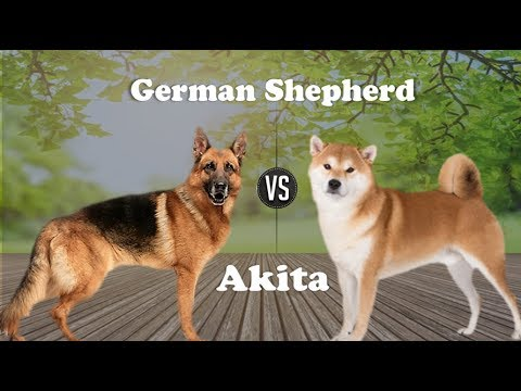 German Shepherd Vs Akita Inu (Breed info and Comparison)