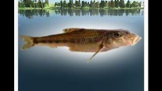 Трофейная рыбалка Пескарь.