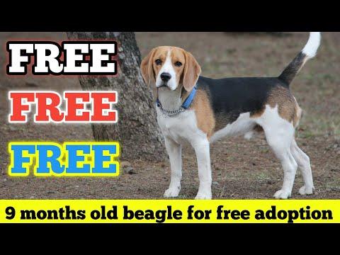 FREE | FREE | Beagle Male Dog For Free Adoption